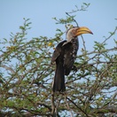 Yellow-bill hornbill