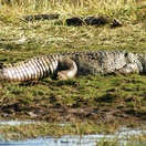 Crocodile baking in the sun
