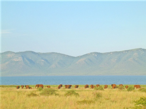 Elephant herd shoreline Lake Jozini