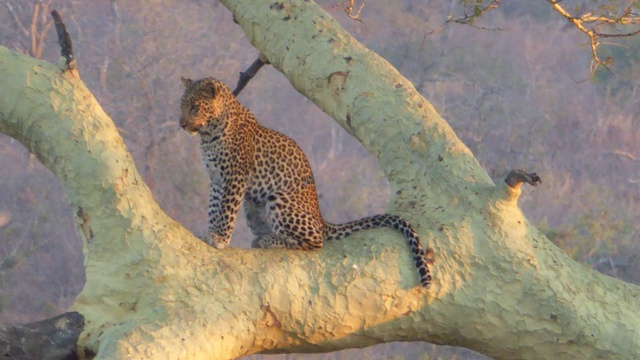 Young Leopard Cub - about one year old in a Fever Tree