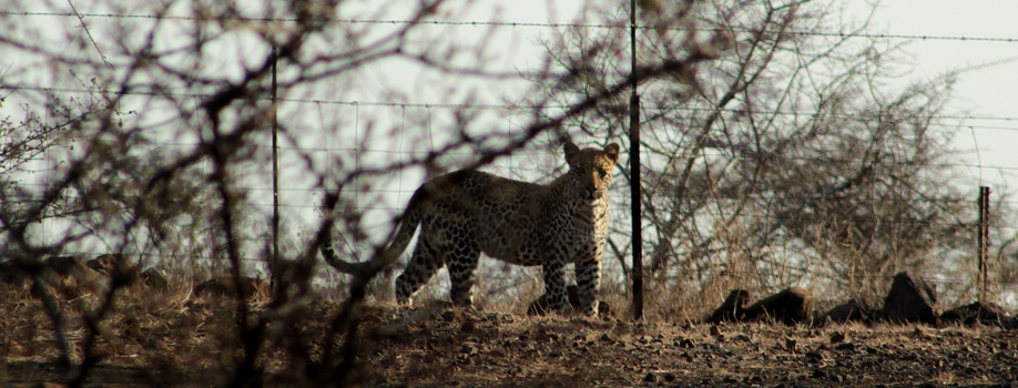 leopard spotted in camp