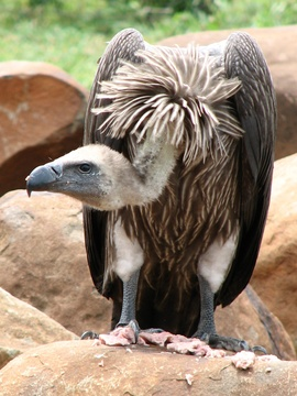 White-Back Vulture
