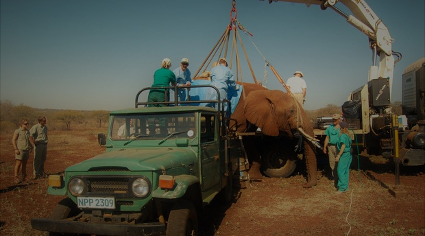 Vasectomy on Elephant Bull, Pongola Game Reserve 2008