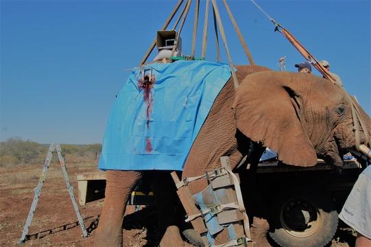 Vasectomy on Elephant bull being carried out in the veld.