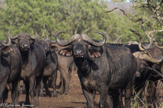 African Buffalo. Photo Credit:Ruben van Greunen