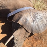 A radio collar was fitted to enable Heike to monitor her closely.