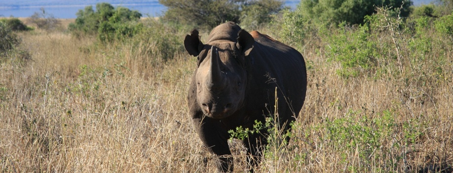 black rhino, rhino tracking, black rhino range expansion project