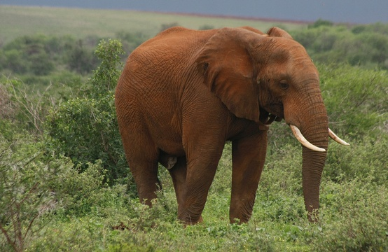Elephant bull with additional signs of musth