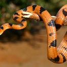 Easter Tigern Snake