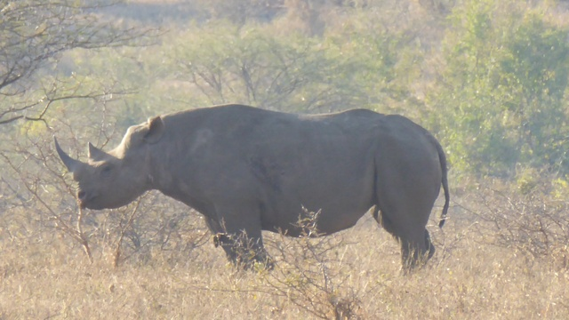 The Black Rhino we sighted