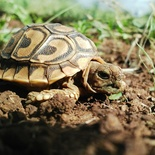 A baby tortoise