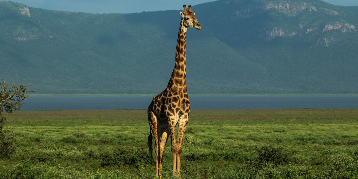 girafffe, nature, wildlife, shoreline, lake, mountain, scenery