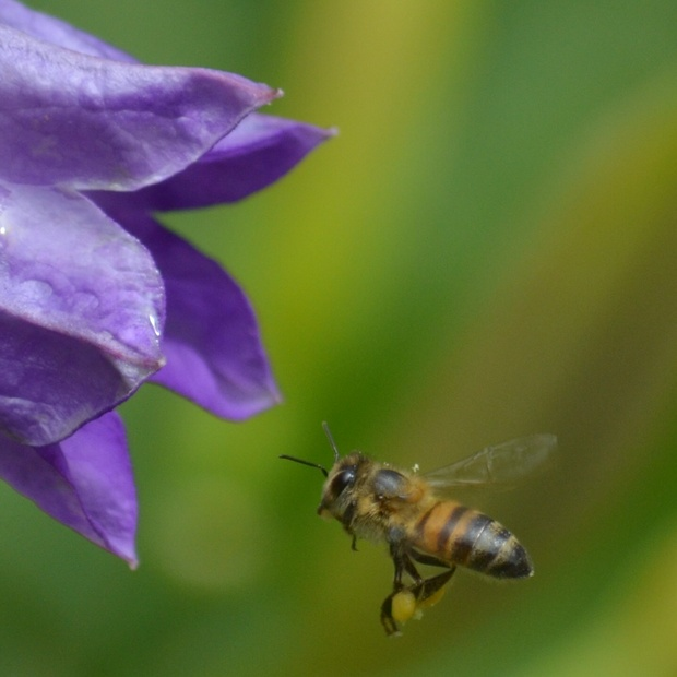 Bees, pollinators, honeybees