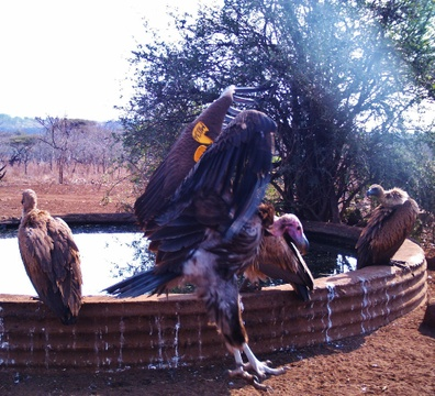 All tags on vultures (such as the one in the image) are recorded as well